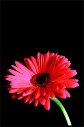 'Gerbera' original photograph by Jennifer Kuhr who has an online portfolio with art-spaces.com